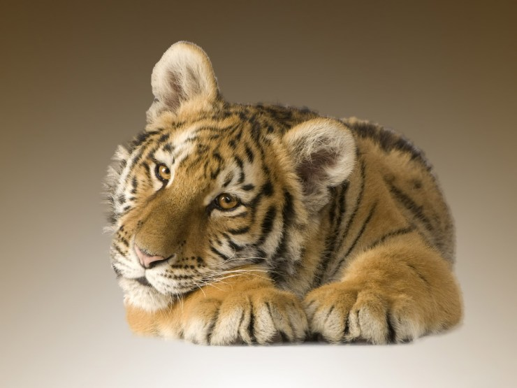 Tiger cub picture free