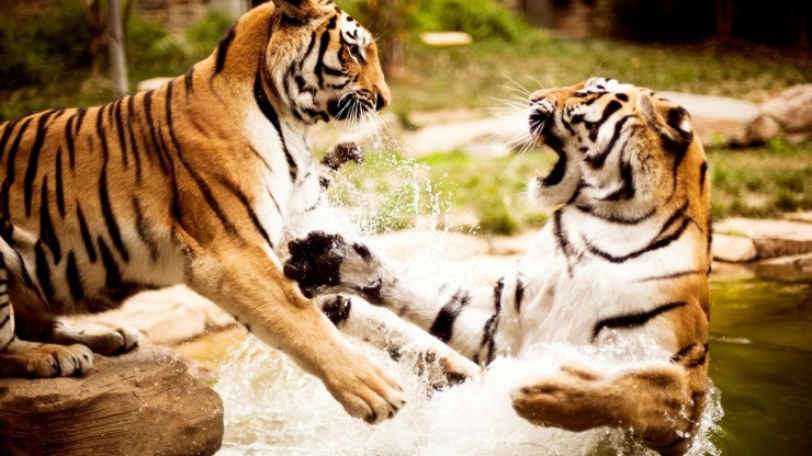 picture of beautiful tigers