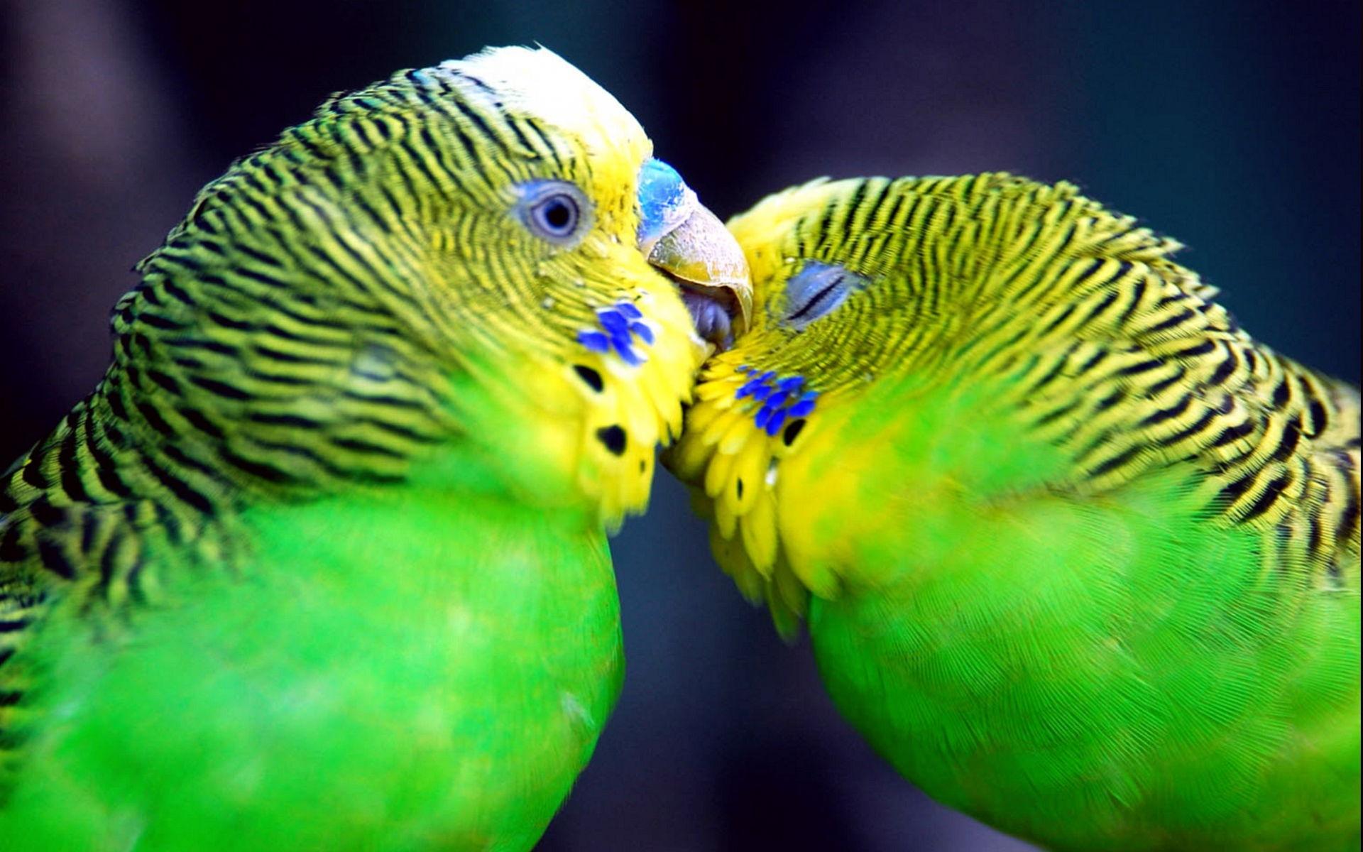 Love Birds Wallpaper Hd Background