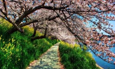 Spring blossom wallpaper windows desktop 1920p