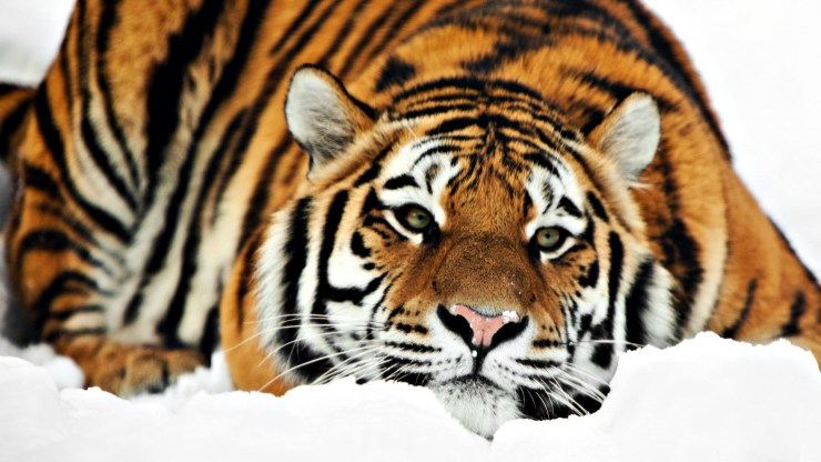 download images of tiger