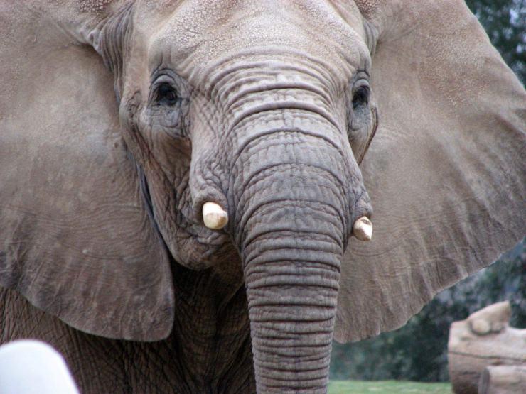 elephant photo download