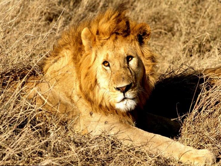 free lion wallpaper mobile