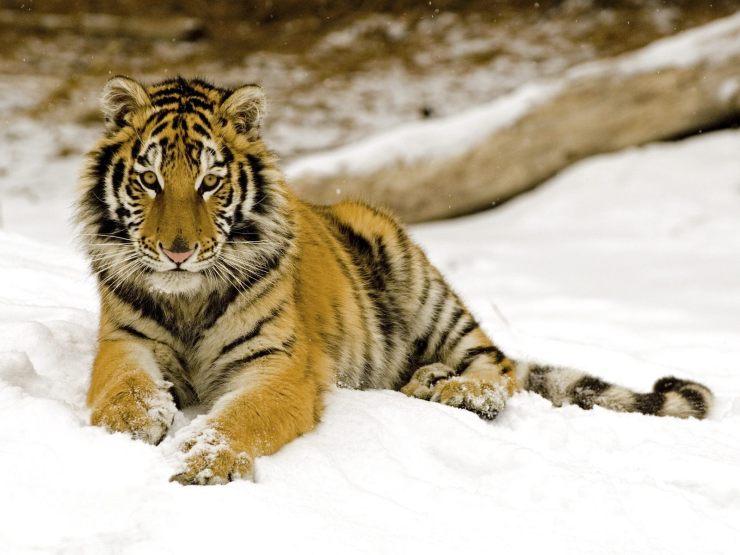 free tiger wallpaper download