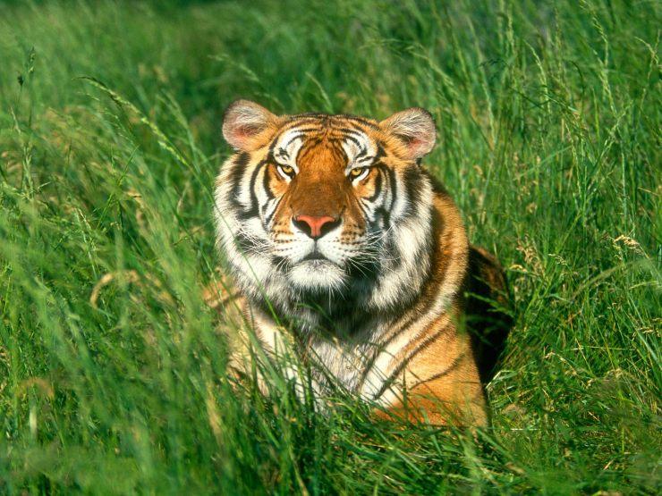 full hd tiger wallpaper