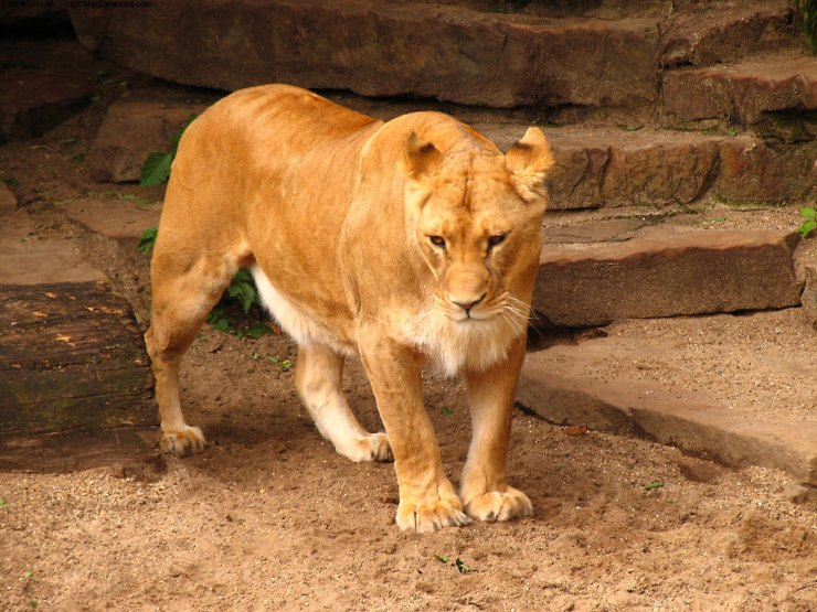hd wallpaper of lion