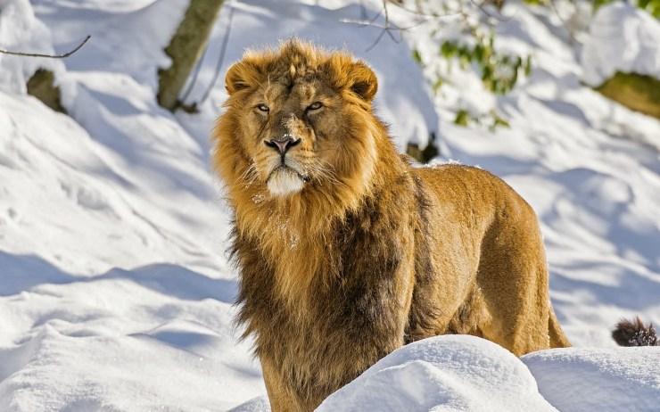 lion images free