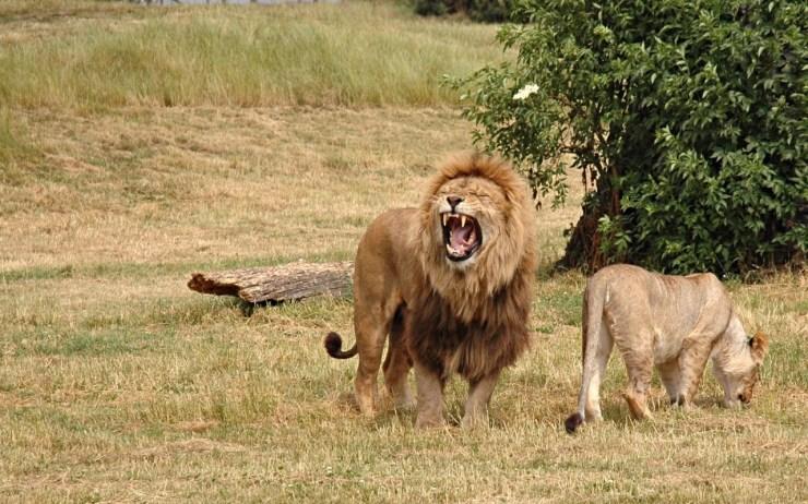 lion photo wallpaper