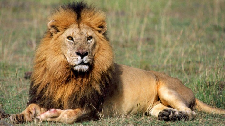lion pictures free