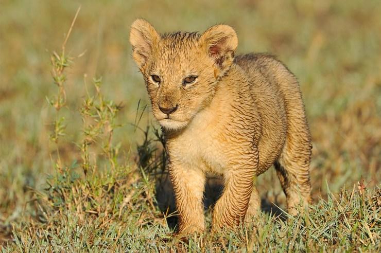 lions photos download