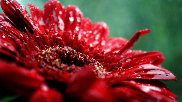 red flowers wallpaper
