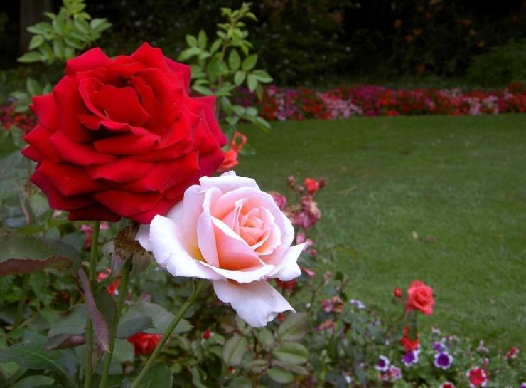rose flower garden wallpaper