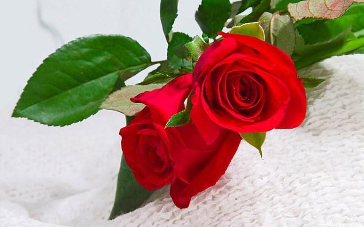 rose flowers wallpapers for desktop