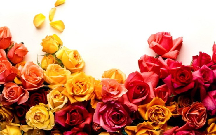 rose flowers wallpapers free download