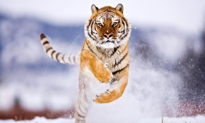 siberian tiger pictures