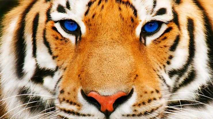 tiger face wallpaper