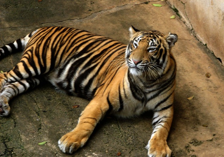 tiger photo gallery