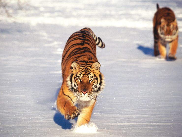 tiger pic download