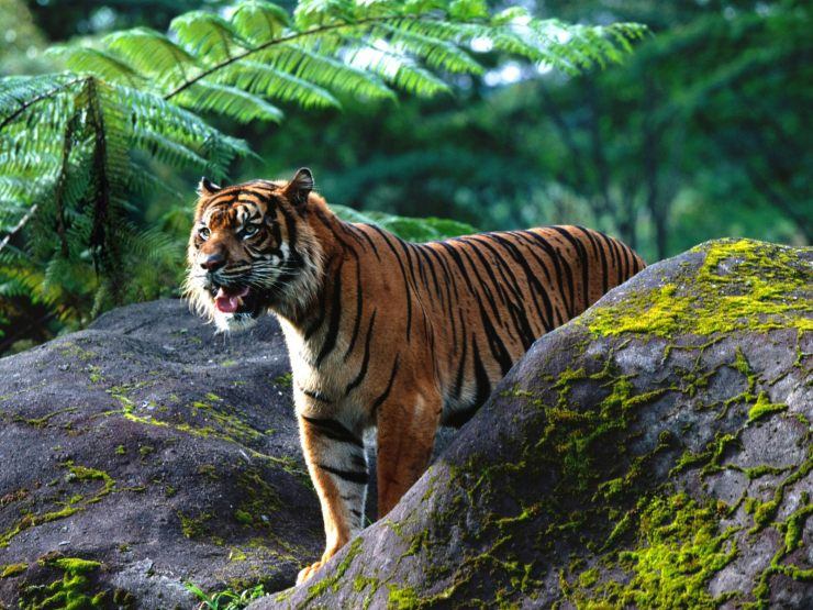 tiger wallpaper for pc
