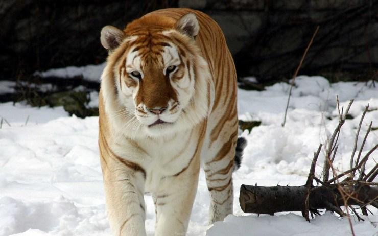 tiger wallpaper high resolution