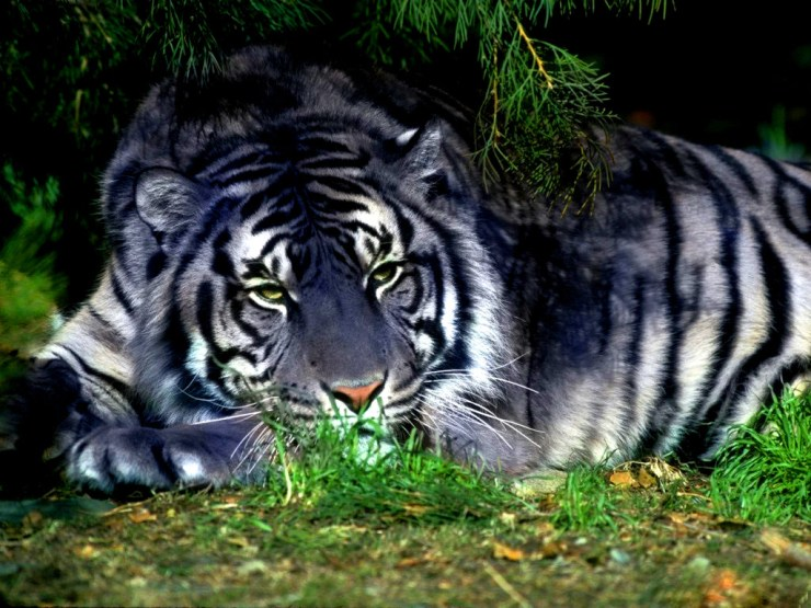 tigers desktop wallpaper