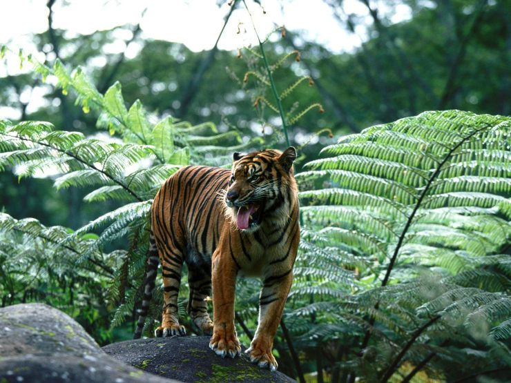 tigers pictures gallery