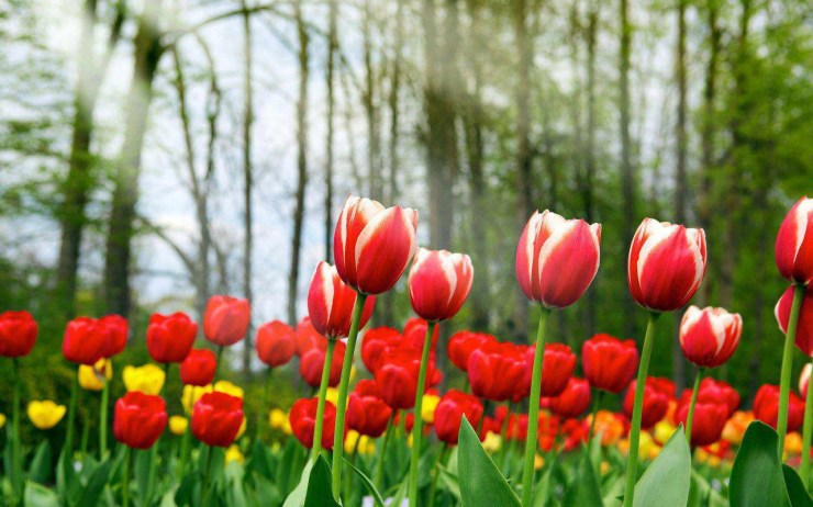 tulip flower wallpaper
