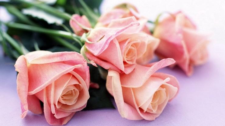 wallpaper of rose flower