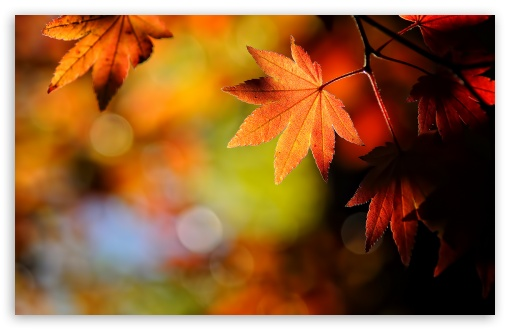 Image result for maple leaves autumn