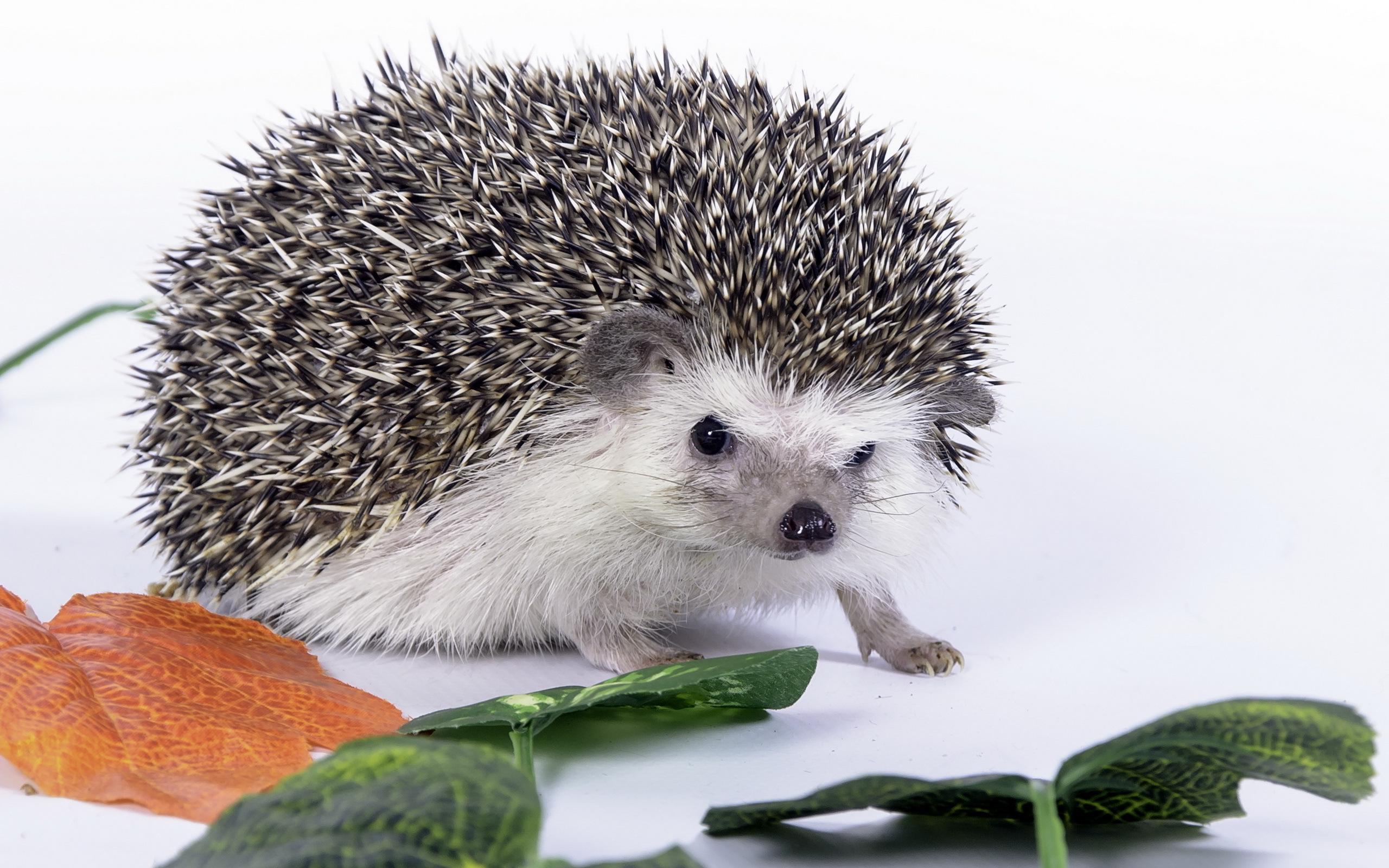 Hedgehog Background HD Desktop Wallpapers 4k HD