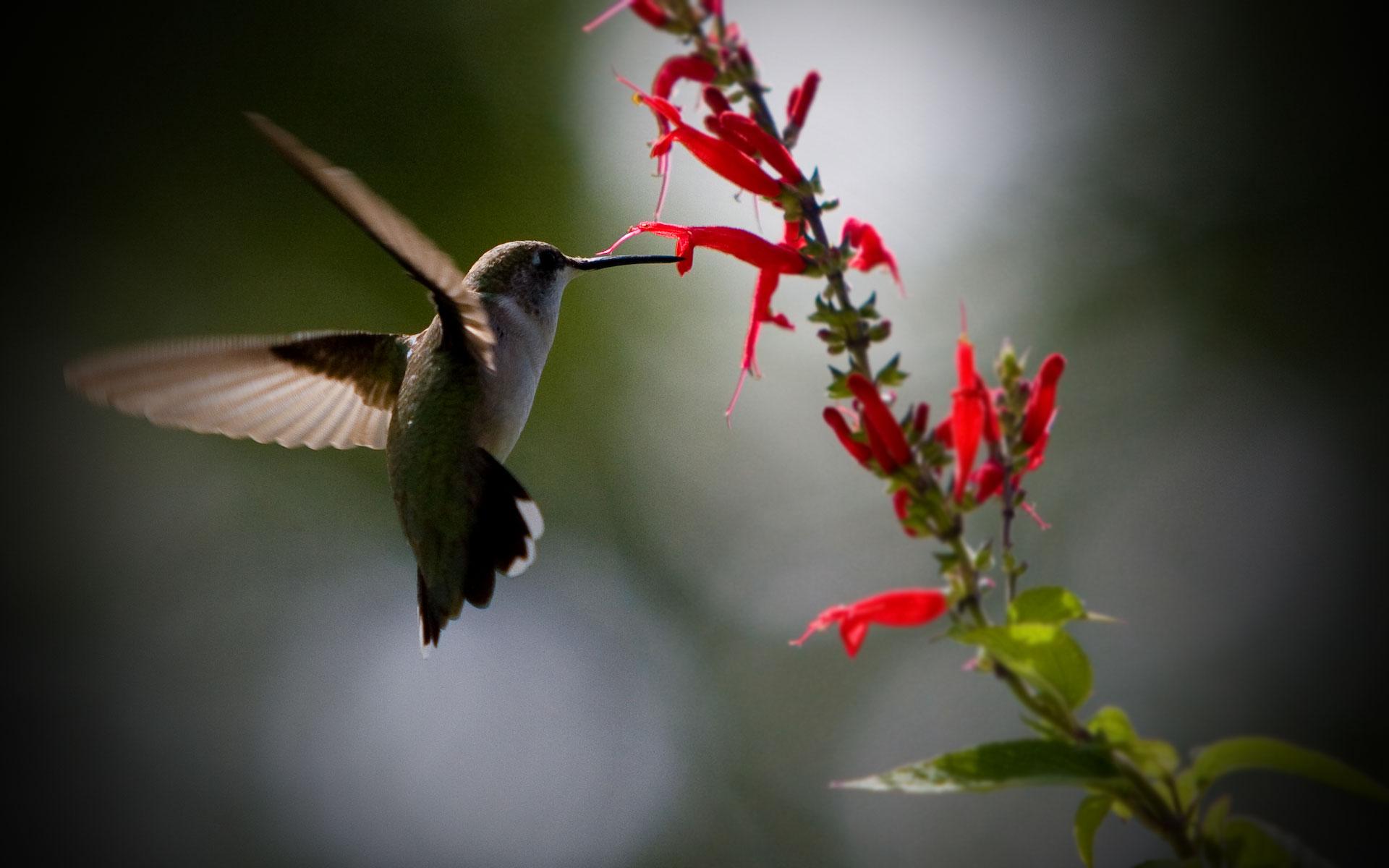 hummingbird screensaver and backgrounds