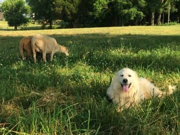 dog-and-sheep-in-shade