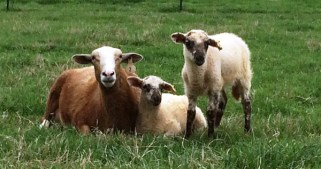 ewe-with-lambs-spotted-face