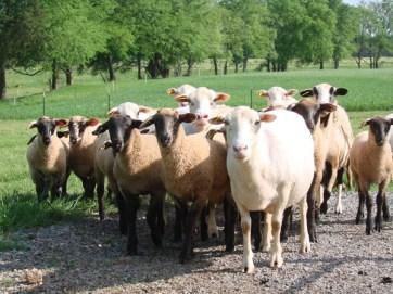 herd-all-looking