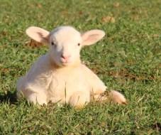 lamb-in-grass