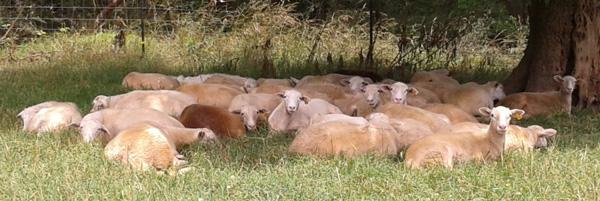 sheep lounging in shade