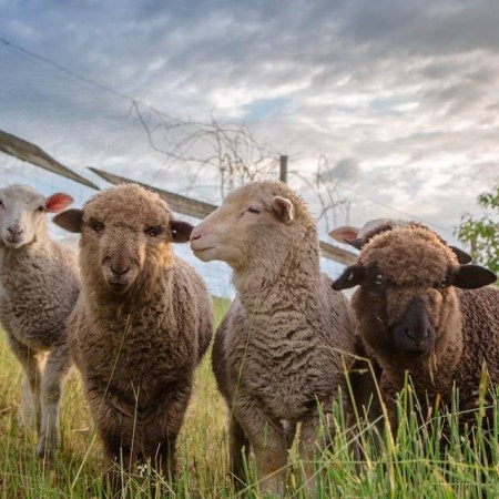 Sheep at Double F Ranch
