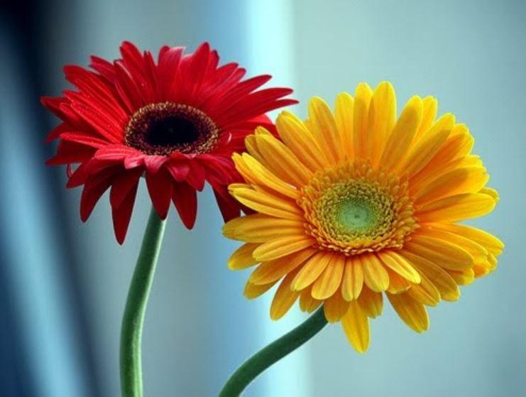 Gerbera Flower Wallpaper Free Download Hd Wallpaper