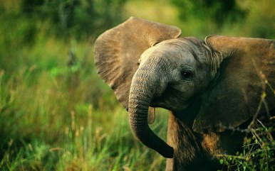 elephant mobile iphone wallpapers_768x480