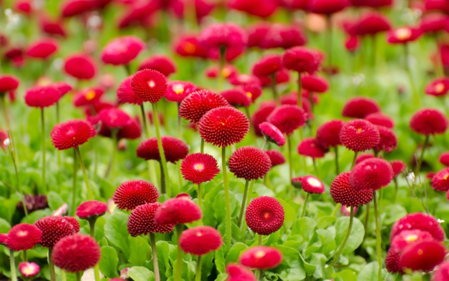 Flowers Red Summer  HD Flowers  4k Wallpapers  Images  Backgrounds     Flowers Red Summer