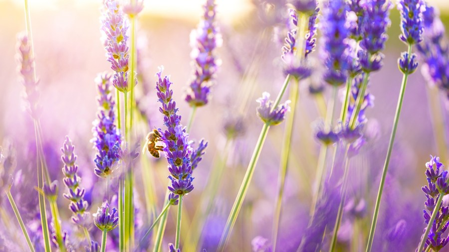 Lavender Flowers  HD Flowers  4k Wallpapers  Images  Backgrounds     Lavender Flowers