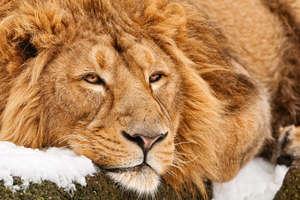 lion king online subtitrat # 52