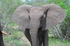 Bull Elaphant