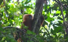 Redleaf monkey