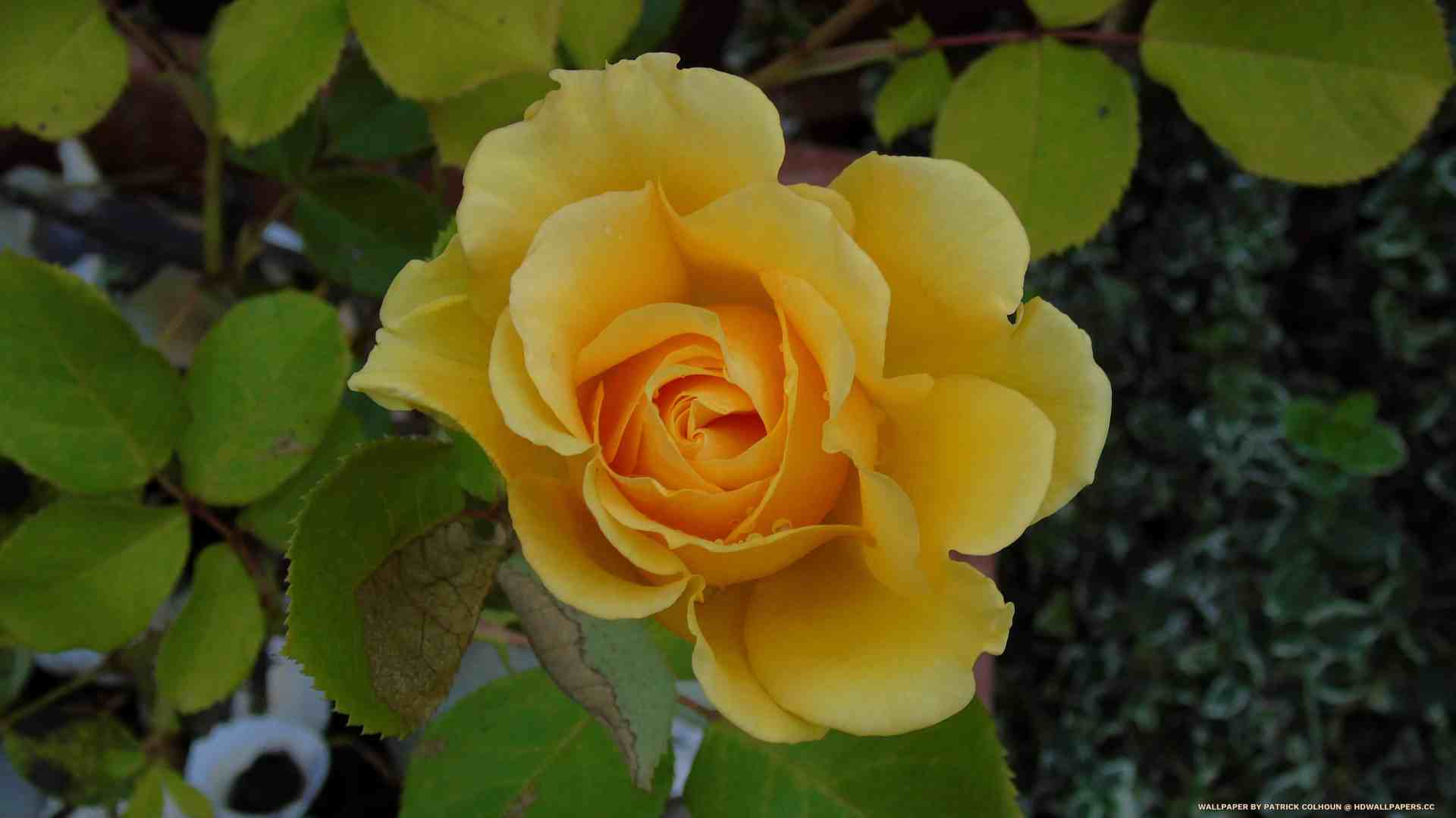 the yellow rose - HD Wallpapers