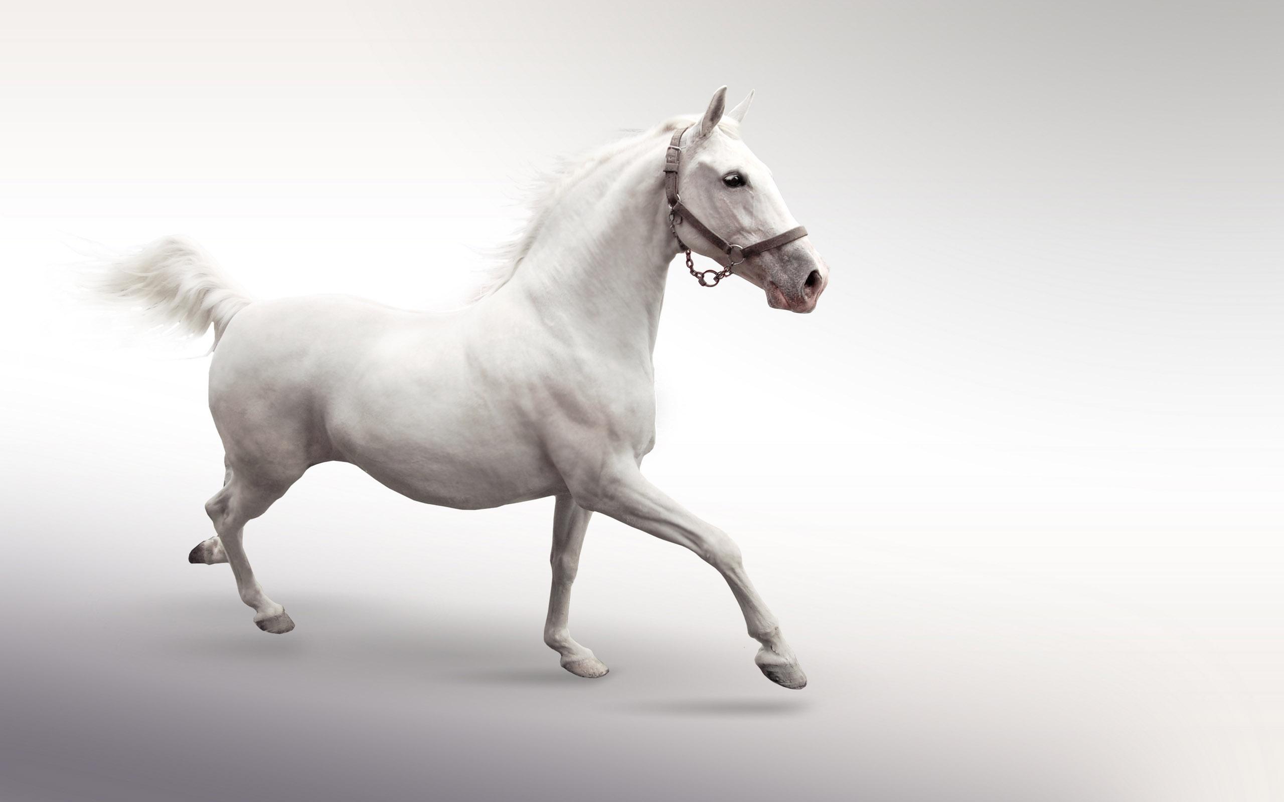 white horse 25698 2560x1600 px ~ hdwallsource