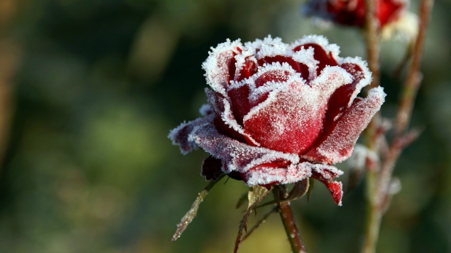 Winter Flower Pictures 25798 1366x768px Winter Flower Pictures 25798