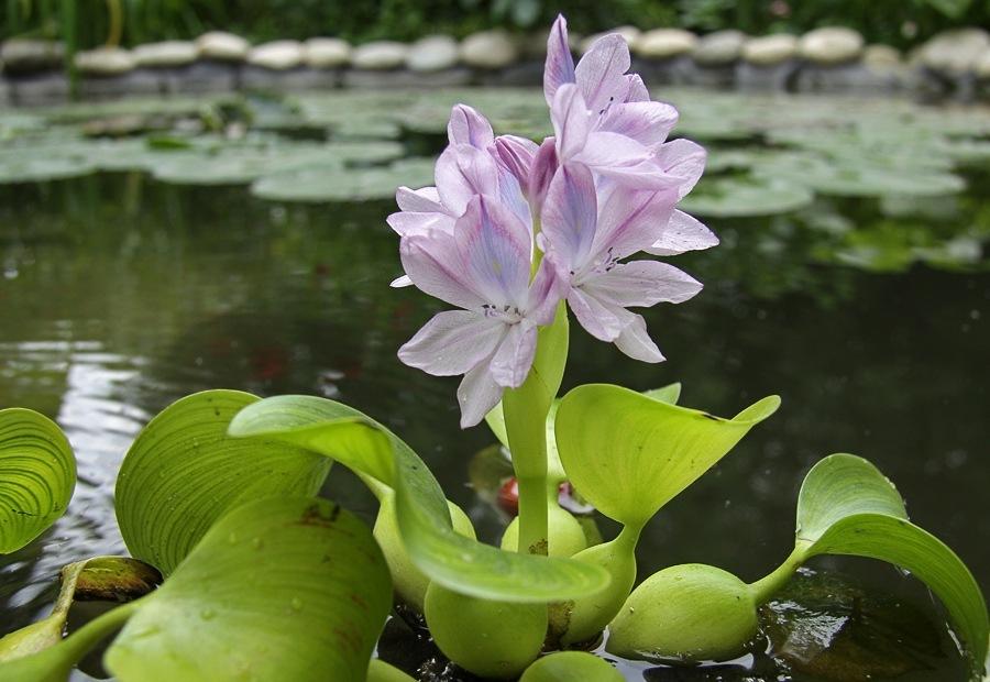 Можно ли гиацинт выращивать в комнатных условиях