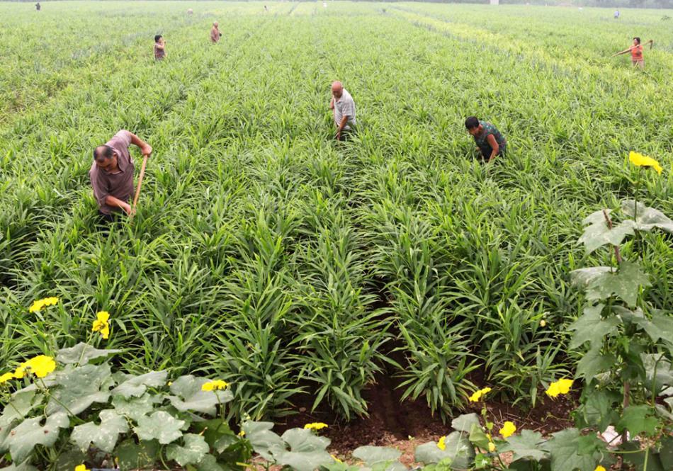 مزرعة الزنجبيل