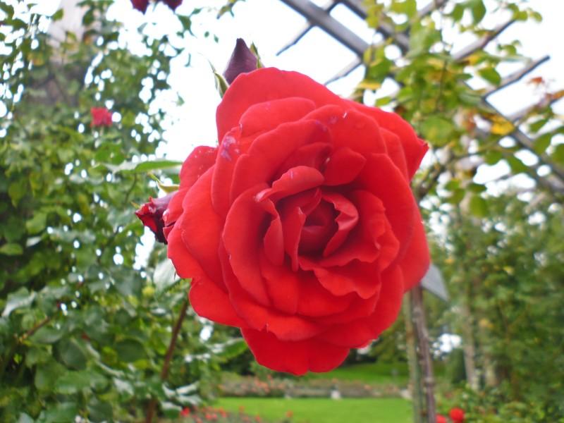 Wyspa kwiatów - róża